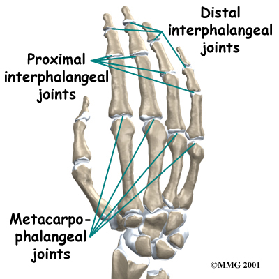 Several ligaments hold the joints together. In the PIP joint, the strongest
